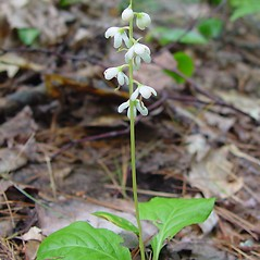 Plant form: Pyrola elliptica. ~ By Arthur Haines. ~ Copyright © 2020. ~ arthurhaines[at]wildblue.net