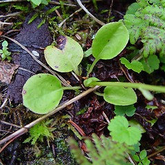 Leaves: Pyrola minor. ~ By Arthur Haines. ~ Copyright © 2020. ~ arthurhaines[at]wildblue.net