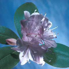 Flowers: Rhododendron carolinianum. ~ By Adelaide Pratt. ~ Copyright © 2019 New England Wild Flower Society. ~ Image Request, images[at]newenglandwild.org