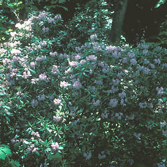 Plant form: Rhododendron carolinianum. ~ By John Lynch. ~ Copyright © 2019 New England Wild Flower Society. ~ Image Request, images[at]newenglandwild.org
