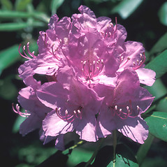 Flowers: Rhododendron catawbiense. ~ By John Lynch. ~ Copyright © 2020 New England Wild Flower Society. ~ Image Request, images[at]newenglandwild.org