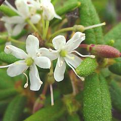 Flowers: Rhododendron groenlandicum. ~ By Glen Mittelhauser. ~ Copyright © 2020 Glen Mittelhauser. ~ www.mainenaturalhistory.org