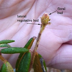 Winter buds: Rhododendron groenlandicum. ~ By Jill Weber. ~ Copyright © 2020 Jill Weber. ~ jillweber03[at]gmail.com
