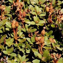 Fruits: Rhododendron lapponicum. ~ By Antje Neumann. ~ Copyright © 2021 Antje Neumann. ~ Biopix.com ~ www.biopix.com