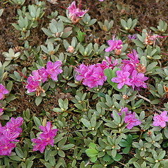 Plant form: Rhododendron lapponicum. ~ By Ben Kimball. ~ Copyright © 2020 Ben Kimball. ~ alpinefin[at]comcast.net