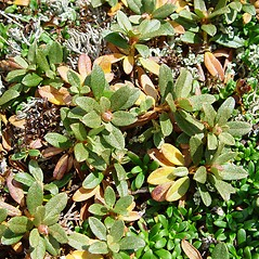 Leaves: Rhododendron lapponicum. ~ By Arthur Haines. ~ Copyright © 2020. ~ arthurhaines[at]wildblue.net