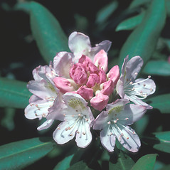 Flowers: Rhododendron maximum. ~ By John Lynch. ~ Copyright © 2019 New England Wild Flower Society. ~ Image Request, images[at]newenglandwild.org