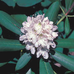 Flowers: Rhododendron maximum. ~ By John Lynch. ~ Copyright © 2020 New England Wild Flower Society. ~ Image Request, images[at]newenglandwild.org