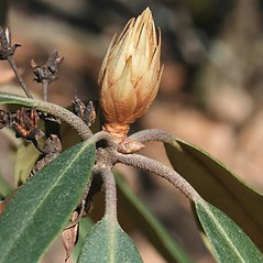 Winter buds: Rhododendron maximum. ~ By Arieh Tal. ~ Copyright © 2021 Arieh Tal. ~ http://botphoto.com/ ~ Arieh Tal - botphoto.com