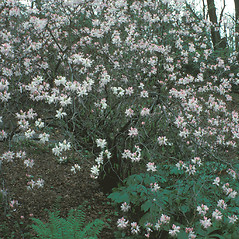 Plant form: Rhododendron vaseyi. ~ By Dorothy Long. ~ Copyright © 2020 New England Wild Flower Society. ~ Image Request, images[at]newenglandwild.org