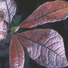 Leaves: Rhododendron vaseyi. ~ By Adelaide Pratt. ~ Copyright © 2020 New England Wild Flower Society. ~ Image Request, images[at]newenglandwild.org