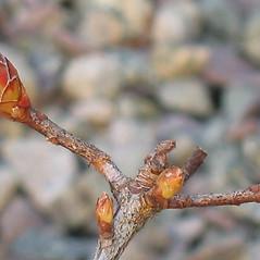 Winter buds: Rhododendron viscosum. ~ By Alexey Zinovjev. ~ Copyright © 2020. ~ webmaster[at]salicicola.com ~ Salicicola - www.salicicola.com/