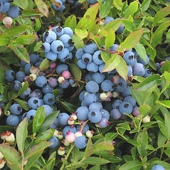 Fruits: Vaccinium angustifolium. ~ By Marilee Lovit. ~ Copyright © 2021 Marilee Lovit. ~ lovitm[at]gmail.com