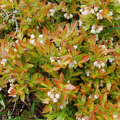 Plant form: Vaccinium angustifolium. ~ By Peter Westover. ~ Copyright © 2021 Peter Westover. ~ No permission needed for non-commercial uses, with proper credit