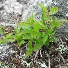 Plant form: Vaccinium boreale. ~ By Arthur Haines. ~ Copyright © 2020. ~ arthurhaines[at]wildblue.net
