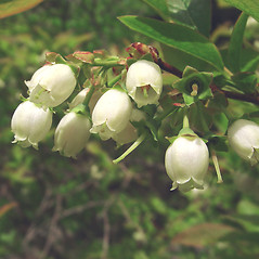 Flowers: Vaccinium corymbosum. ~ By Glen Mittelhauser. ~ Copyright © 2021 Glen Mittelhauser. ~ www.mainenaturalhistory.org