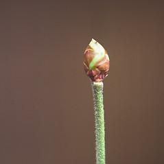 Winter buds: Vaccinium corymbosum. ~ By Carol Levine. ~ Copyright © 2021 Carol Levine. ~ carolflora[at]optonline.net