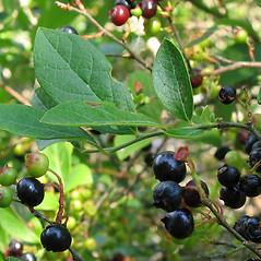 Fruits: Vaccinium fuscatum. ~ By Alexey Zinovjev. ~ Copyright © 2020. ~ webmaster[at]salicicola.com ~ Salicicola - www.salicicola.com/