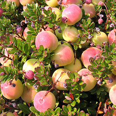 Fruits: Vaccinium macrocarpon. ~ By Marilee Lovit. ~ Copyright © 2020 Marilee Lovit. ~ lovitm[at]gmail.com