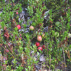 Plant form: Vaccinium macrocarpon. ~ By Donald Cameron. ~ Copyright © 2020 Donald Cameron. ~ No permission needed for non-commercial uses, with proper credit