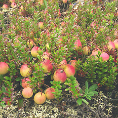 Plant form: Vaccinium macrocarpon. ~ By Glen Mittelhauser. ~ Copyright © 2020 Glen Mittelhauser. ~ www.mainenaturalhistory.org