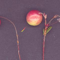 Comparison: Vaccinium macrocarpon. ~ By Glen Mittelhauser. ~ Copyright © 2020 Glen Mittelhauser. ~ www.mainenaturalhistory.org