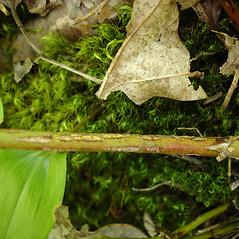 Bark: Vaccinium myrtilloides. ~ By Jill Weber. ~ Copyright © 2020 Jill Weber. ~ jillweber03[at]gmail.com