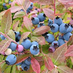 Fruits: Vaccinium myrtilloides. ~ By Marilee Lovit. ~ Copyright © 2019 Marilee Lovit. ~ lovitm[at]gmail.com
