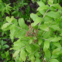 Plant form: Vaccinium myrtilloides. ~ By Arthur Haines. ~ Copyright © 2020. ~ arthurhaines[at]wildblue.net