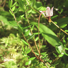 Flowers: Vaccinium oxycoccos. ~ By Glen Mittelhauser. ~ Copyright © 2021 Glen Mittelhauser. ~ www.mainenaturalhistory.org