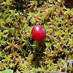 Fruits: Vaccinium oxycoccos. ~ By Arthur Haines. ~ Copyright © 2021 Arthur Haines. ~ arthur.d.haines[at]gmail.com