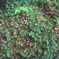 Plant form: Vaccinium oxycoccos. ~ By John Lynch. ~ Copyright © 2020 New England Wild Flower Society. ~ Image Request, images[at]newenglandwild.org