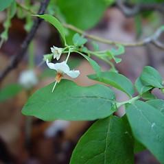 Flowers: Vaccinium stamineum. ~ By Arthur Haines. ~ Copyright © 2021. ~ arthurhaines[at]wildblue.net
