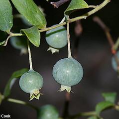 Fruits: Vaccinium stamineum. ~ By Will Cook. ~ Copyright © 2021 Will Cook. ~ cwcook[at]duke.edu, carolinanature.com ~ North Carolina Plant Photos - www.carolinanature.com/plants/