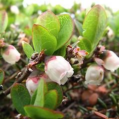 Flowers: Vaccinium uliginosum. ~ By Donna Kausen. ~ Copyright © 2021 Donna Kausen. ~ 33 Bears Den, Addison, ME 04606