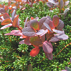 Leaves: Vaccinium uliginosum. ~ By Donna Kausen. ~ Copyright © 2020 Donna Kausen. ~ 33 Bears Den, Addison, ME 04606
