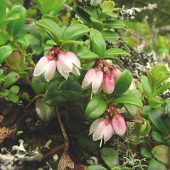 Flowers: Vaccinium vitis-idaea. ~ By Glen Mittelhauser. ~ Copyright © 2021 Glen Mittelhauser. ~ www.mainenaturalhistory.org