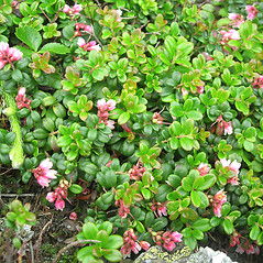 Plant form: Vaccinium vitis-idaea. ~ By Vermont Nongame & Natural Heritage Program. ~ Copyright © 2020 Vermont Nongame & Natural Heritage Program. ~ Bob.Popp[at]state.vt.us ~ Vt Nongame & Natural Heritage Program