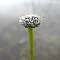 Flowers and fruits: Eriocaulon aquaticum. ~ By Donna Kausen. ~ Copyright © 2021 Donna Kausen. ~ 33 Bears Den, Addison, ME 04606