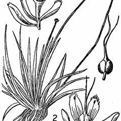 Flowers: Eriocaulon parkeri. ~ By Nathaniel Lord Britton. ~  Public Domain. ~  ~ USDA-NRCS Plants Database - plants.usda.gov/java/