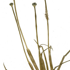 Stems: Eriocaulon parkeri. ~ By CONN Herbarium. ~ Copyright © 2020 CONN Herbarium. ~ Requests for image use not currently accepted by copyright holder ~ U. of Connecticut Herbarium - bgbaseserver.eeb.uconn.edu/