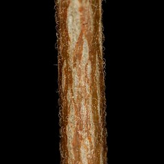Stems: Acalypha gracilens. ~ By John Gwaltney. ~ Copyright © 2019 John Gwaltney. ~ southeasternflora.com ~ Southeastern Flora - www.southeasternflora.com/