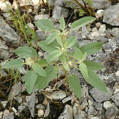Plant form: Croton capitatus. ~ By Steven Baskauf. ~ Copyright © 2021 CC-BY-NC-SA. ~  ~ Bioimages - www.cas.vanderbilt.edu/bioimages/frame.htm