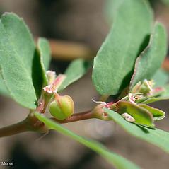 Fruits: Euphorbia glyptosperma. ~ By Keir Morse. ~ Copyright © 2020 Keir Morse. ~ www.keiriosity.com ~ www.keiriosity.com