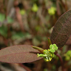Flowers: Euphorbia ipecacuanhae. ~ By David G. Smith. ~ Copyright © 2021. ~ dgsmith3[at]gmail.com ~ Delaware Wildflowers - delawarewildflowers.org/