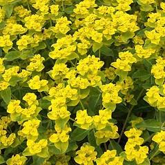 Flowers: Euphorbia lathyris. ~ By Charles Brun. ~ Copyright © 2021. ~ brunc[at]wsu.edu ~ Pacific Northwest Plants - www.pnwplants.wsu.edu/