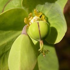 Fruits: Euphorbia lathyris. ~ By Neal Kramer. ~ Copyright © 2021 Neal Kramer. ~ kramerbotanical[at]yahoo.com ~ CalPhotos - calphotos.berkeley.edu/flora/