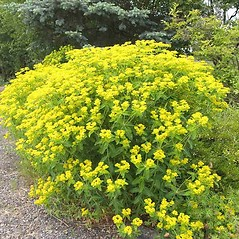 Plant form: Euphorbia lathyris. ~ By Charles Brun. ~ Copyright © 2020. ~ brunc[at]wsu.edu ~ Pacific Northwest Plants - www.pnwplants.wsu.edu/