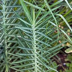 Leaves: Euphorbia lathyris. ~ By Paul S. Drobot. ~ Copyright © 2020 Paul S. Drobot. ~ www.plantstogrow.com, www.plantstockphotos.com ~ Robert W. Freckmann Herbarium, U. of Wisconsin-Stevens Point
