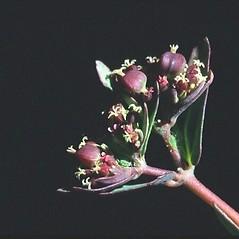 Flowers: Euphorbia nutans. ~ By Mark Renz. ~ Copyright © 2020 Mark Renz. ~ mrenz[at]wisc.edu ~ Robert W. Freckmann Herbarium, U. of Wisconsin-Stevens Point